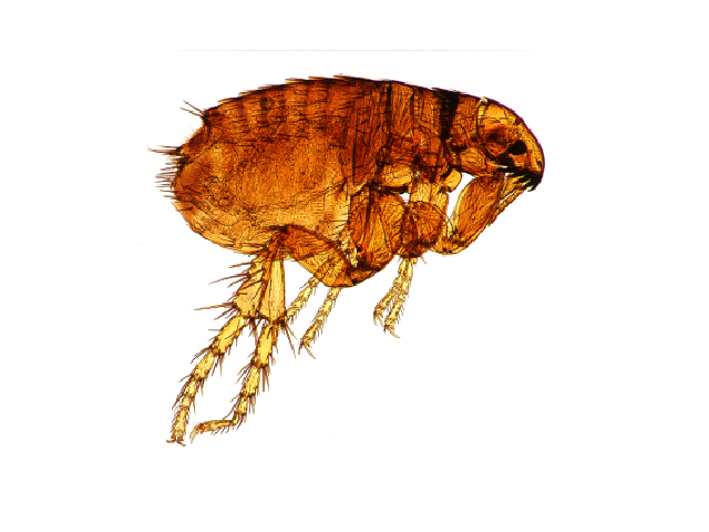 5770857981406152 Understanding the Flea Life Cycle to Help Control Fleas on Your Dog